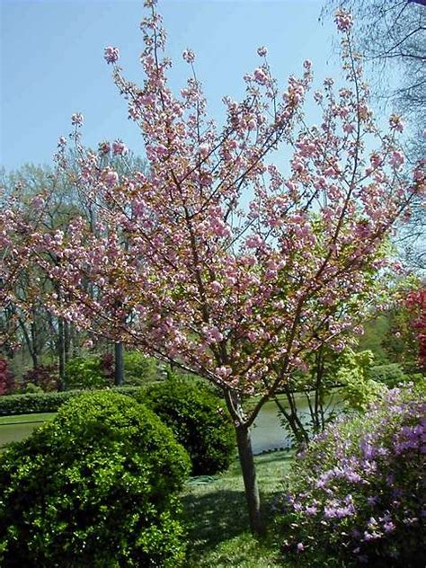 non fruit bearing cherry tree hillmere management limited tree gallery