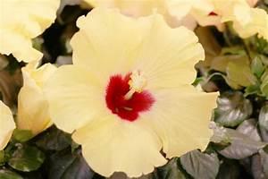 Wann Schneidet Man Hibiskus : hibiskus schneiden wann hibiskus schneiden wann wie macht ~ Lizthompson.info Haus und Dekorationen