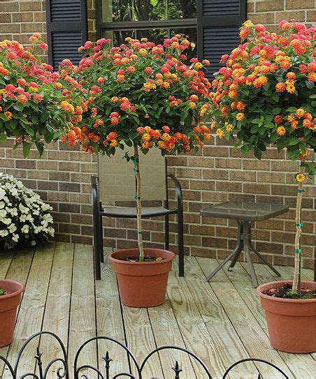 cottage farms direct  confetti lantana patio tree