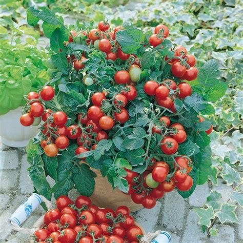 Tomaten Im Blumenkasten by Tomate Vilma Buschtomate Mit Vielen Roten Fr 252 Chten