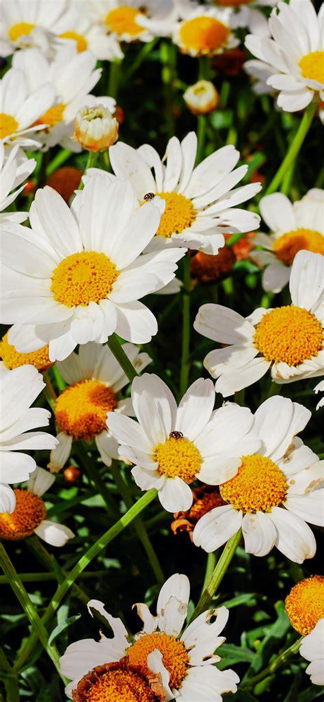 Daisies 4k Wallpaper White Flowers Bloom Spring Garden