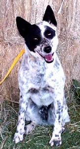 - New Hope Cattle Dogs