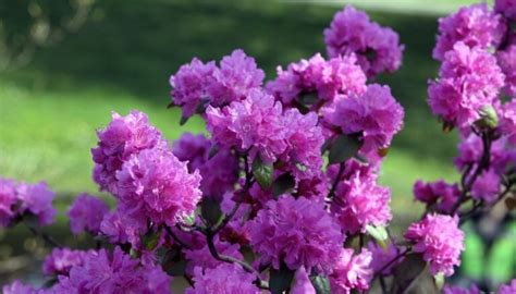 Rododendri - Tēmas - DELFI