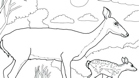 white tailed deer coloring page  getcoloringscom