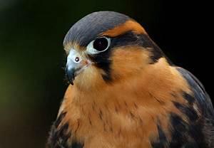 Aplomado Falcon   Audubon Field Guide  Falcon