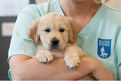 Puppy Guide Dog Dogs Being Held Help