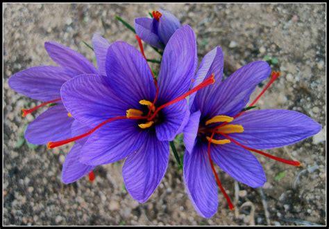 what flower is saffron from saffron flower pictures meaning saffron crocus flower