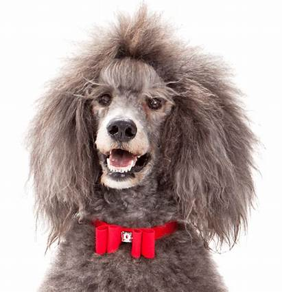Poodle Rescue Standard Midwest Poodles Toy Dog