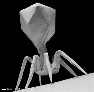T4-bacteriophage