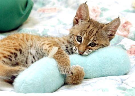 half bobcat half domestic cat half bobcat kittens for breeds picture