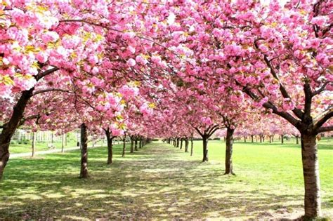 top  cherry blossom festivals   places
