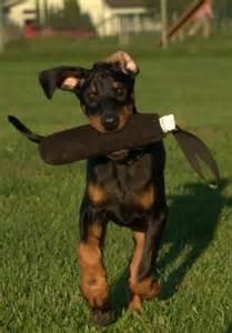 Doberman Pinscher Puppies Cost
