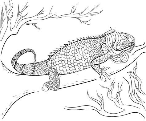 iguana coloring pages    print