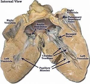 Pig Heart  Pulmonary Trunk  Aorta  Atria  Pulmonary Veins