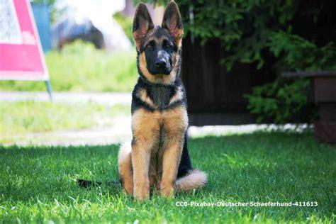 hundeportrait deutscher schaeferhund lieblingshund