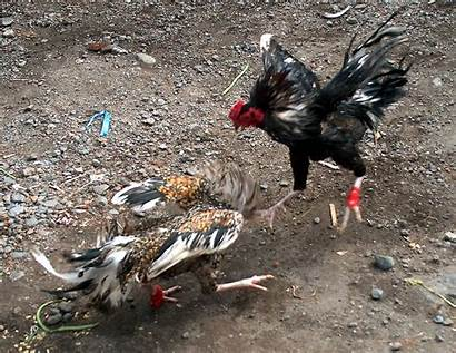 Roosters Fight Cockfighting Cockfight Blades Legal Feet