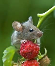Mouse with Raspberry