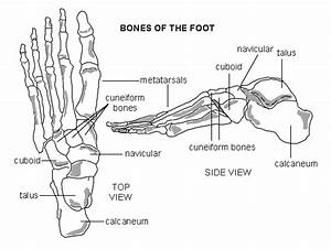 Small But Highly Useful Joints  The Wrist And The Ankle