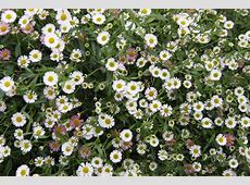 Seaside Daisy Favourite plants Pinterest Seaside and