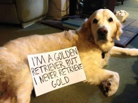 golden retriever memes american
