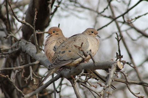 mourning dove  ultra hd wallpaper  background image  id