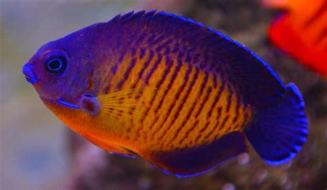 Something Fishy :: Aquarium Livestock :: Fish :: Coral