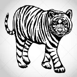 sketch tiger vectors creativecom