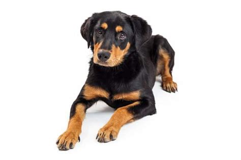 ultimate guide   rottweiler lab mix animalso