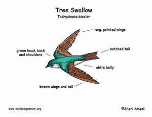 Swallow  Tree