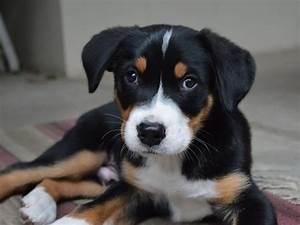 Wie Alt Werden Berner Sennenhunde : gro er schweizer sennenhund der wachsame besch tzer seite 1 ~ Eleganceandgraceweddings.com Haus und Dekorationen