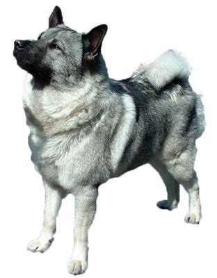 elkhound shedding 112 best images about breeds and its characteristics