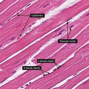 Human Anatomy Lab Exercises Tissues Recognition And