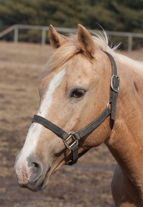 horse commons halters halter monkey headshot wikimedia leaving choosing african file horses believable writing plague pneumonic tag disease source perfect