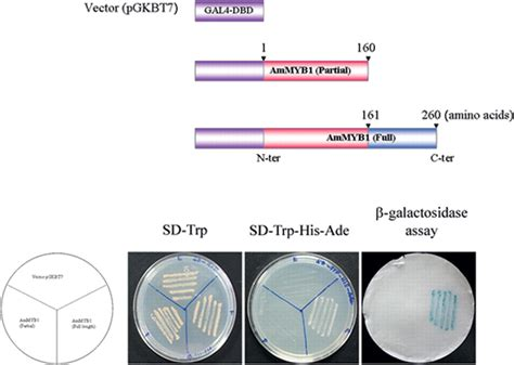 Transactivation assay of AmMYB1 protein: Full and partial ...