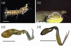 Researcher Studies The Feeding Habits Of Stomatopod
