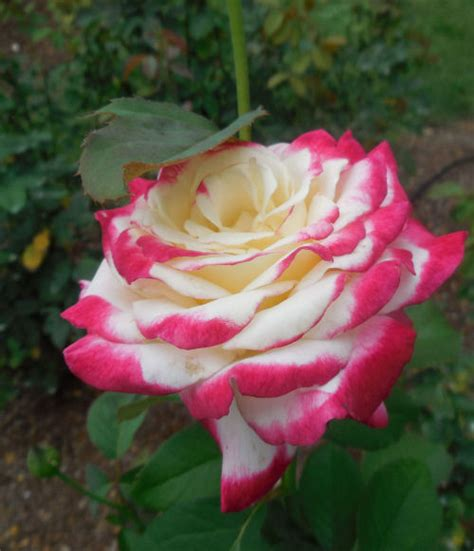 raleigh rose garden variegated roses  gardening cook