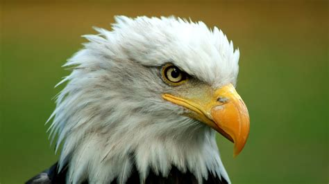 Top 10 Facts You Didn't Know About Bald Eagles Youtube