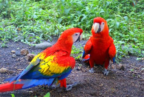 macaw bird macaw parrot wallpapers fun animals wiki videos pictures stories