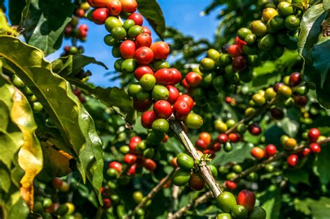Heartwood an orange to reddish brown. Coffee Beans On Coffee Tree Stock Photo - Download Image Now - iStock