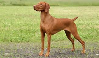 Do Weimaraner Puppies Shed by Vizsla Dog Breed Information