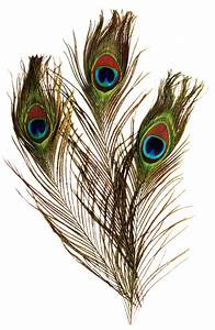 Peacock Feather Transparent Background