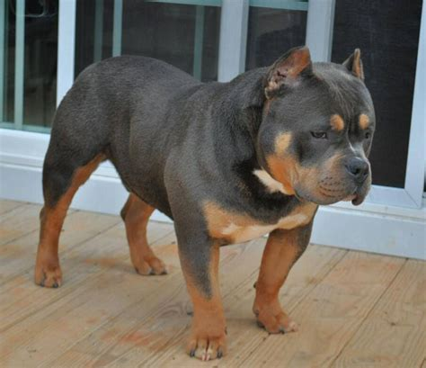 tri color american bully history of the tri colored pit bull american bully