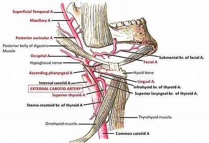 Artery Carotid External Branches Ascending Pharyngeal Posterior