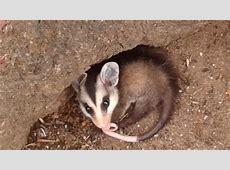 Não confunda rato com timbu, que é marsupial e semeador