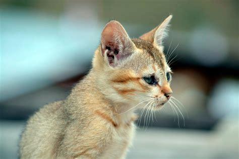 Agustin guerrero, the original el gato negro. El gato Singapura - Características y cuidados