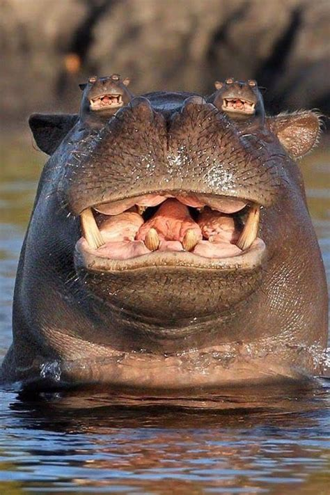 photoshop battle smiling hippo   head  water