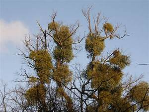 Mistletoe (and wine?)   Tales from the Wood - The Diary of ...