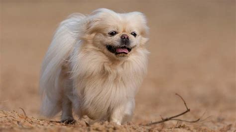 pekingese information characteristics facts names