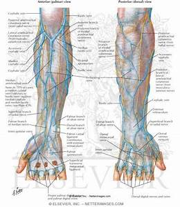Anatomy Veins Of The Hand And Forearm