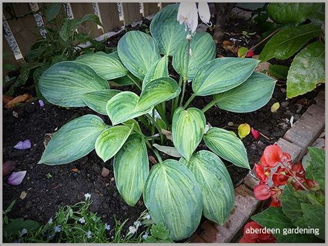 tubs aberdeen hostas in the borders and tubs aberdeen gardening